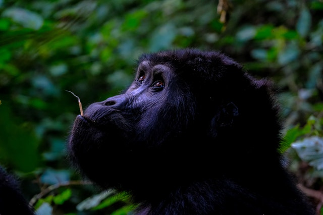Tourisme et Gorilles : un dur combat que mène la République Démocratique du Congo